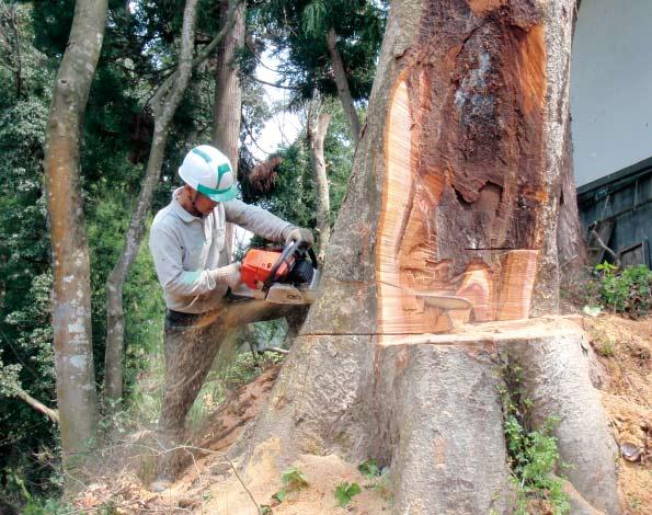 大径木伐採